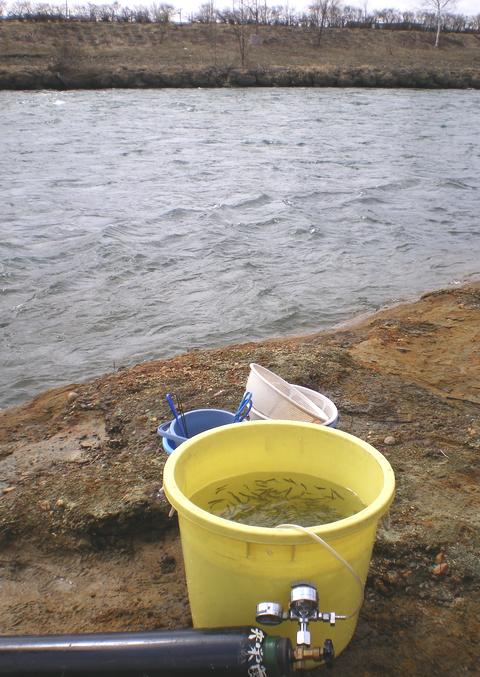 出発の時を待つサケの稚魚たち