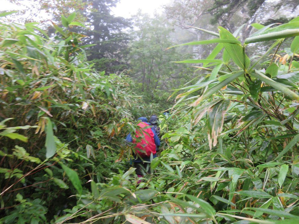 背丈を超える、雨に濡れた、チシマザサが覆いかぶさる登山道を行く