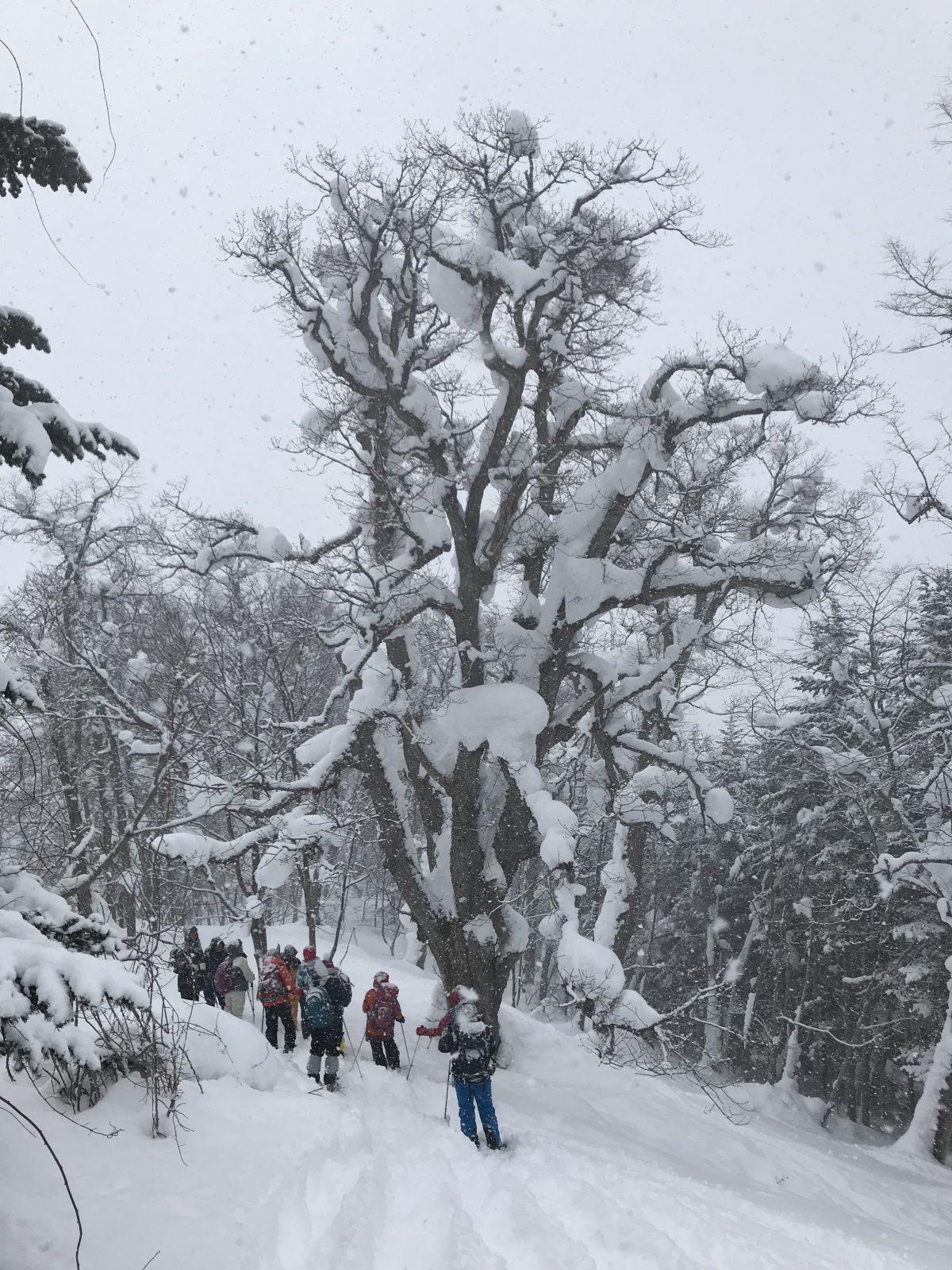 2019-02-17 ひぐま大学湯内山写真04 そこそこの巨木
