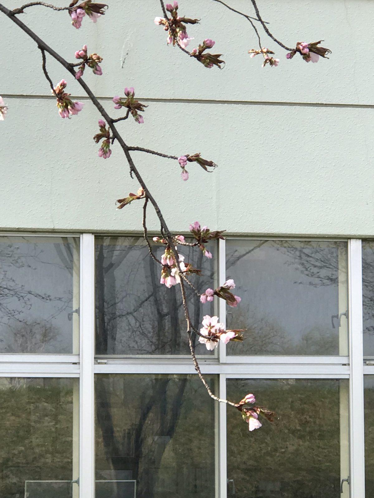 【お知らせ】ひぐま大学の卒業式・祝賀会及び定期総会の再延期、ひぐま大学入学式の延期